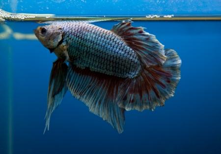betta splendens: siamese fighting fish in blue tank Stock Photo
