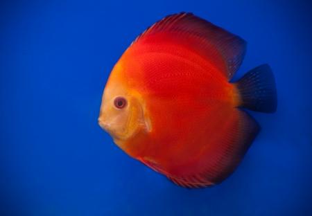 fishtank: orange pompadour fish in blue fishtank
