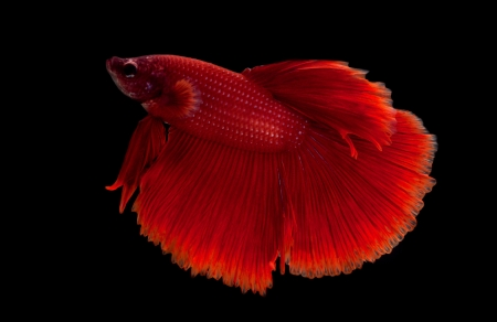animal fight: red siamese fighting fish on black background