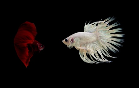 siamese fighting fish on black background photo