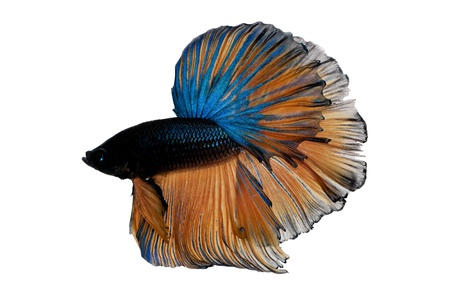 blue siamese fighting fish on white background photo