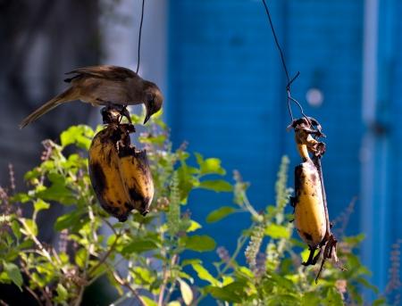 comiendo platano: pl�tano peque�o p�jaro comiendo Foto de archivo
