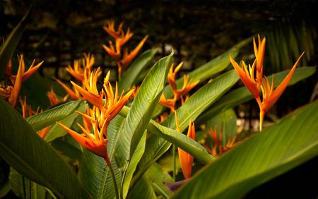 heliconia: orange heliconia flower in garden