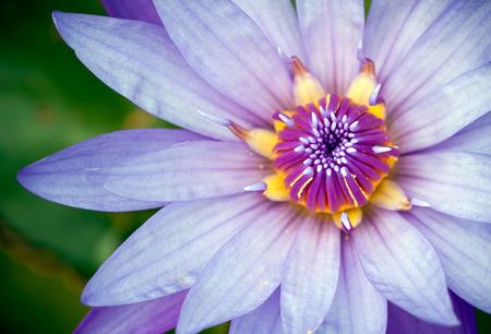 close up of petal on purple lotus Stock Photo