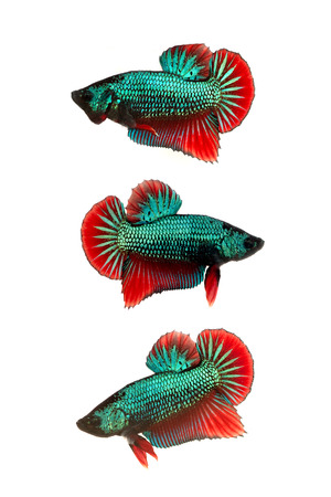 group of multicolor siamese fighting fish on white background photo