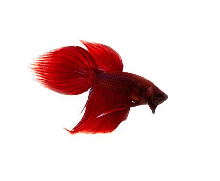 betta splendens: red siamese fighting fish on white background