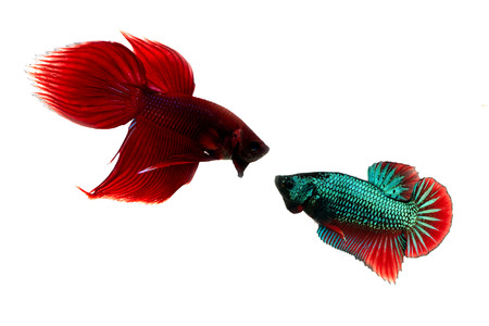 red and green siamese fighting fish on white background