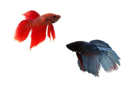 siamese fighting fish: red and blue siamese fighting fish on white background