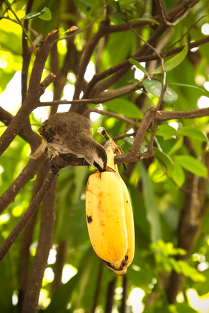 eating banana: bulbul birds eating banana Stock Photo