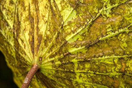 close up on backside of lotus leaf Stock Photo
