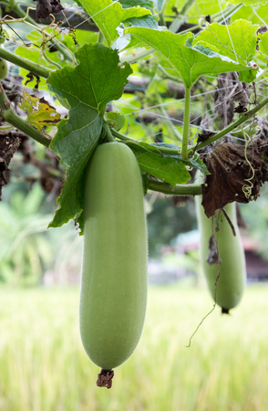 winter melon in vegetable garden