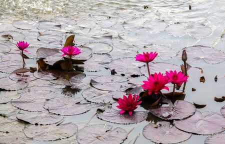 pink water lily in a lotus pond
