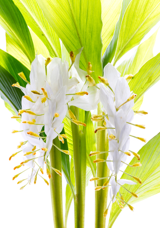 globba or white dragon flower isolated on white background Stock Photo