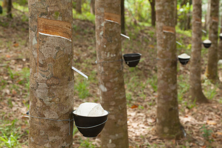 Tapping latex from a rubber tree 版權商用圖片