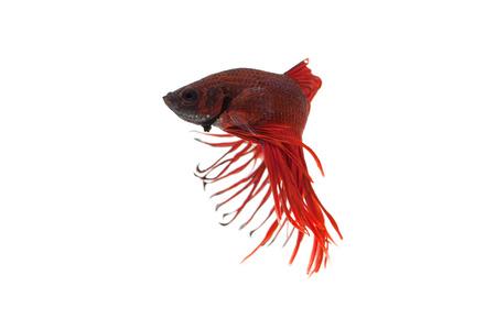 betta splendens: red betta splendens isolated on white background