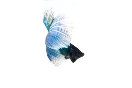 betta splendens: blue betta splendens isolated on white background Stock Photo