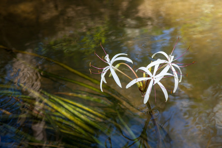 Rare Crinum thaianum or water lily or Water onion blooming at Phang Nga , Thailand