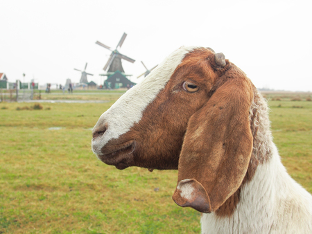a goat in the field and  many windmills at Zaanse Schans , near Amsterdam , Nethrerlands photo