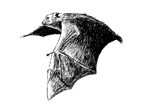 This is my hand drawing . Fruit bats are believed to carry and spread the Ebola virus Vector
