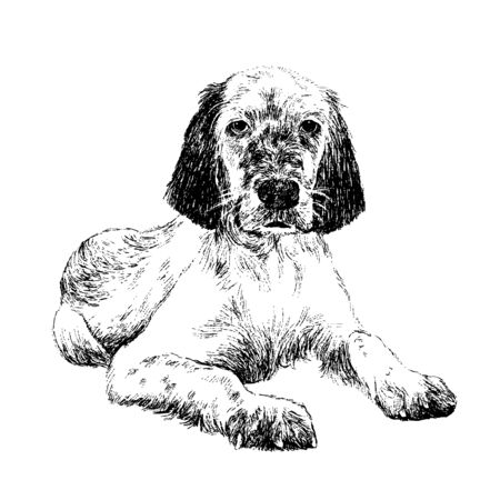 obedient: English setter , hand draw vector.