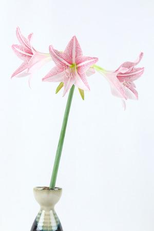 flower of pink amaryllis in Japanese vase on white background photo