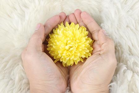 curare teneramente: crisantemo giallo in mano sulla pelliccia, bisogno di attenzione di protezione