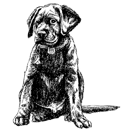 Image of Labrador Retriever hand drawn vector