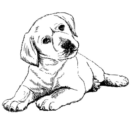 labrador puppy: Image of Labrador Retriever puppy hand drawn vector