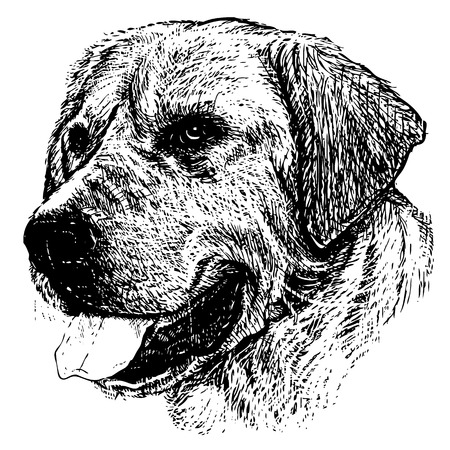 labrador: Image of Labrador Retriever hand drawn vector