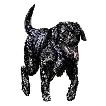 black labrador: Image of black Labrador Retriever hand drawn vector Illustration
