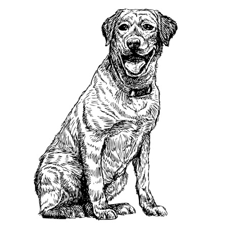 labrador: Image of yellow Labrador Retriever hand drawn vector