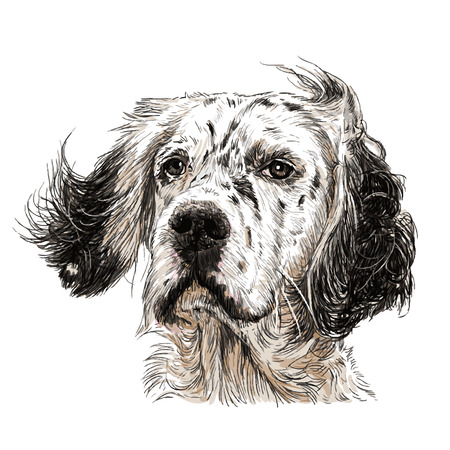 Image of English setter hand drawn