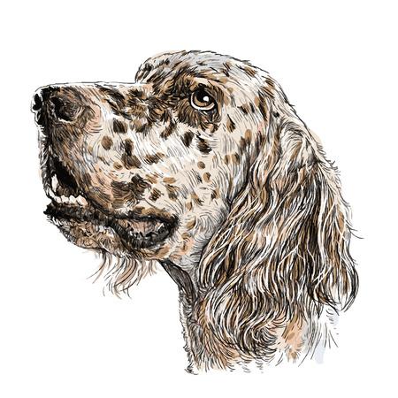 Image of English setter hand drawn