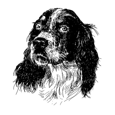 setter: Image of English setter hand drawn vector