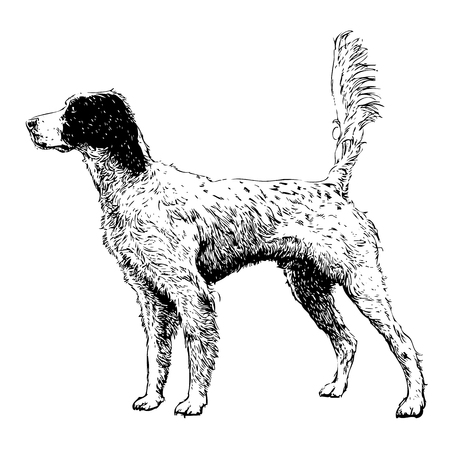 Image of English setter hand drawn vector