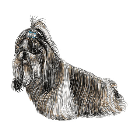 shih tzu: Image of Shih Tzu hand drawn vector