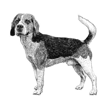 beagle puppy: Imagen del beagle dibujado a mano vector