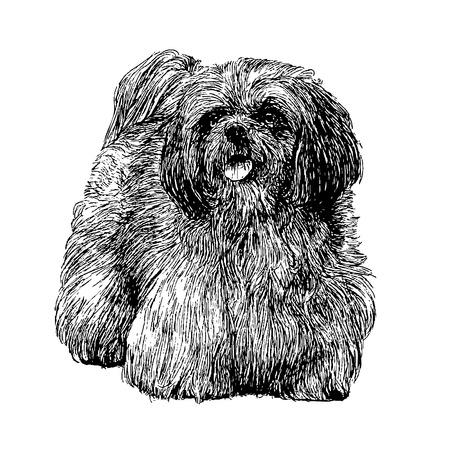 shih tzu: Image of Lhasa Apso hand drawn vector