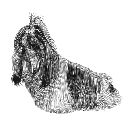 shih: Image of Shih Tzu hand drawn vector