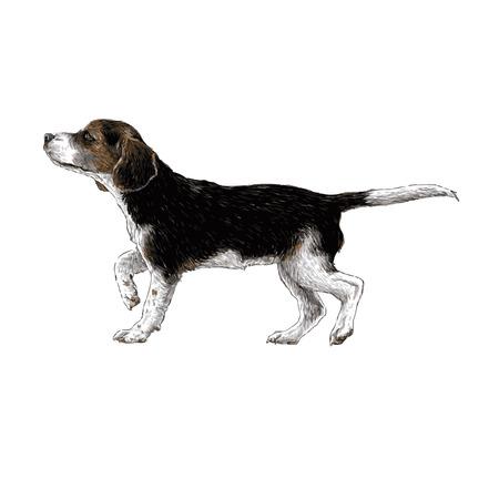 beagle: Image of beagle hand drawn vector