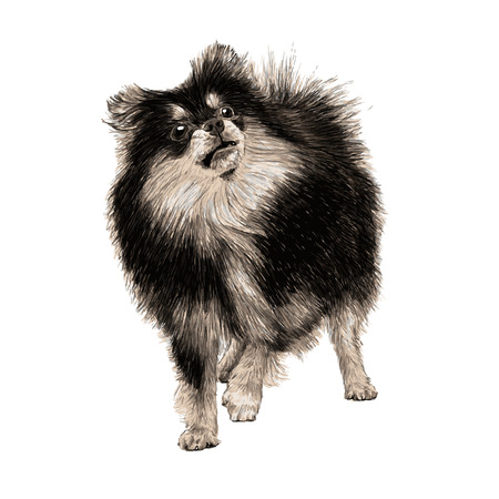 Image of Pomeranian hand drawn vector