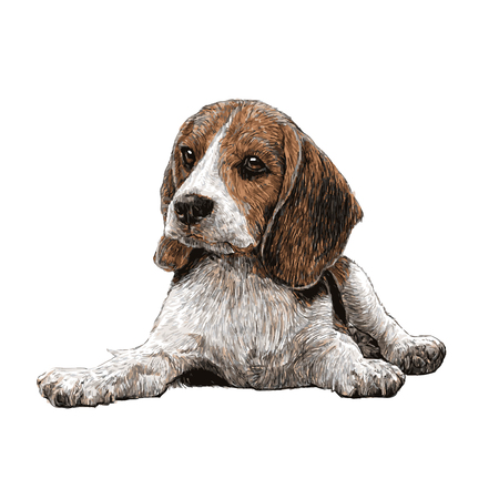 obedient: Image of beagle hand drawn vector