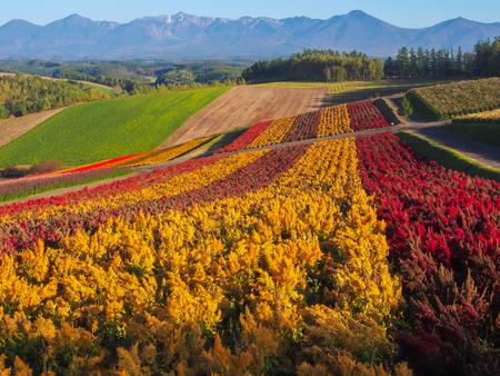 Irodori field, Tomita flower farm, Nakafurano, Hokkaido, Japan Stok Fotoğraf