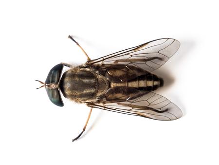 mosca: de cerca la imagen de moscas muertas en el fondo blanco Foto de archivo