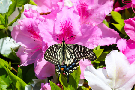 butterfly on pink flowers; Azalea Banque d'images