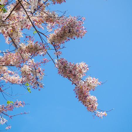 wishing: Wishing Tree, Pink Showe, Cassia Bakeriana Craib with blue sky Stock Photo