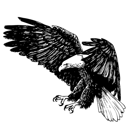 hawks: Black and white eagle hand drawn on white background