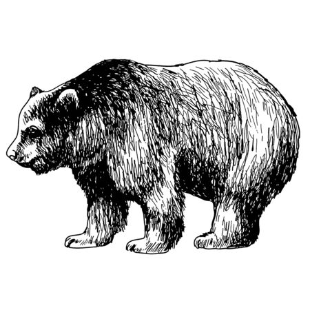 bearish market: hand drawn illustration of bear on white background