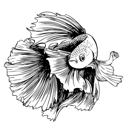 siamese fighting fish: freehand sketch illustration of Betta splendens, Siamese fighting fish doodle hand drawn
