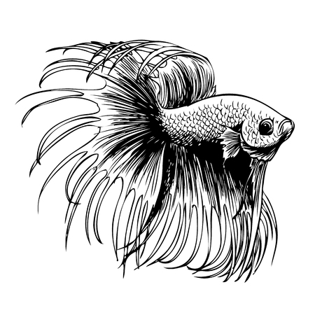 fighting fish: freehand sketch illustration of Betta splendens, Siamese fighting fish doodle hand drawn